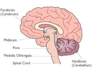 Medulla-oblongata